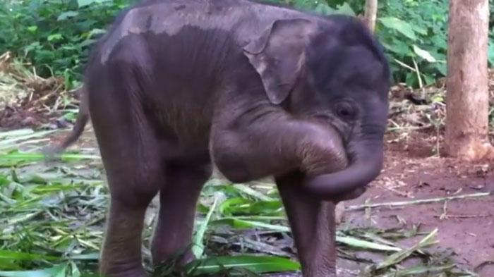 cute baby elephant is a bit confused after discovering its own trunk